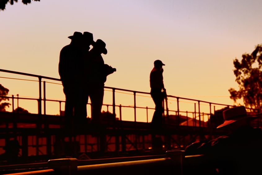 22133076 - cattlemen at sale yards toowoomba for cattle auction